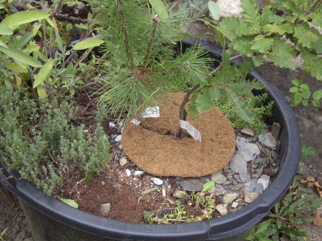 Trüffelbäume im Kübel mit Substrat